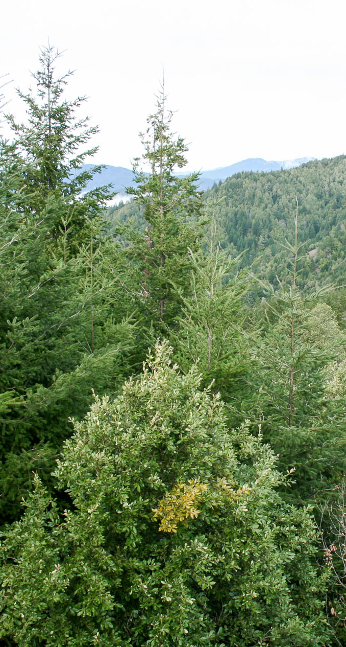 Trees in Humboldt County, Left